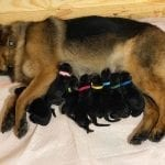 Great Pedigree TOP German Shepherd Puppies in Texas