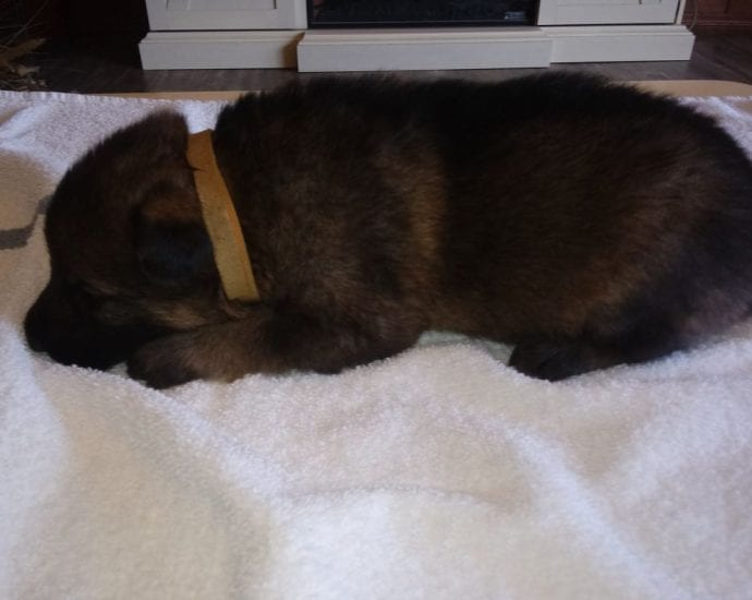 Large German Shepherd Puppies for Christmas
