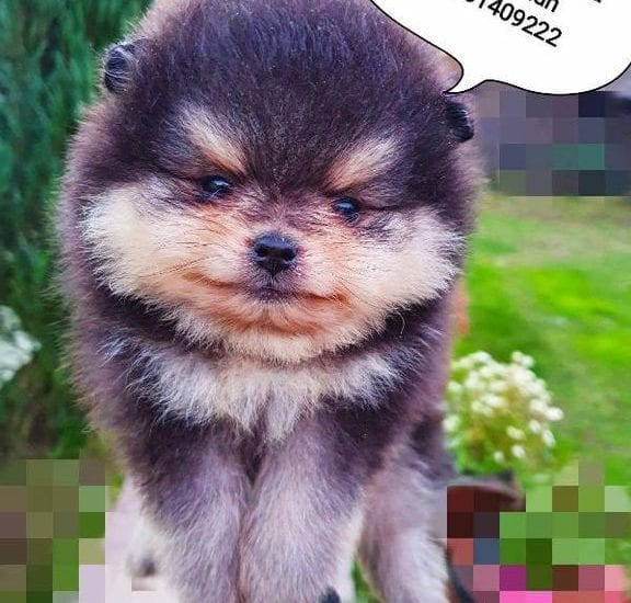 Pomeranian Puppies - Pomeranian Puppy for Sale
