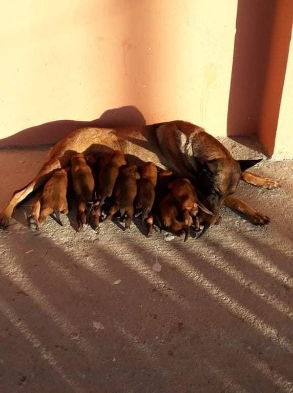 Ringsport & KNPV Malinois Puppies in Greece