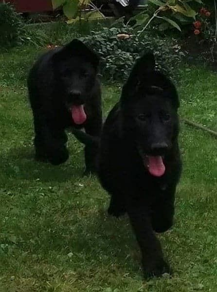 SHOWLINE ALL BLACK GSD Puppies Europe Import 4 month