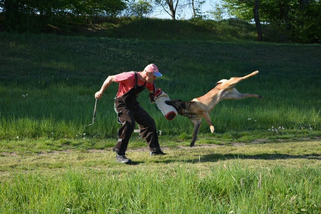 Strong IGP3 Belgian Malinois for Sale in Slovakia
