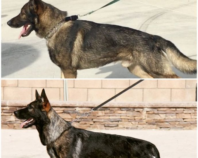 West German Shepherd for Sale in California Male and Female