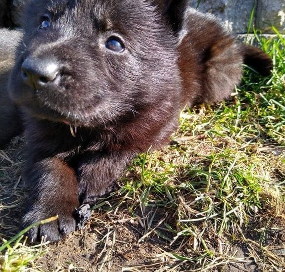 Working Line German Shepherd Puppies for Sale