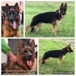 Young Female German Shepherd for Sale in Texas