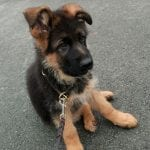German Shepherd Puppy for Sale in Germany