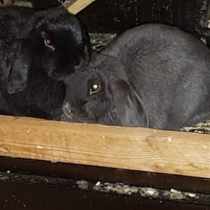 2 SWEET BLACK BUNNIES TO GREAT HOME
