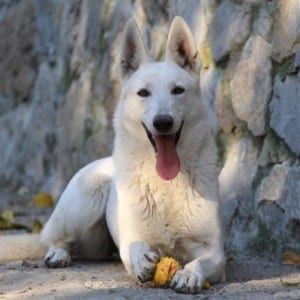 White Shepherd Puppies – Planned 4 January 28th