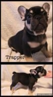 Coopers French Bulldog Puppies for Sale