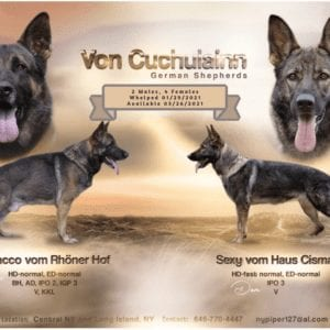 Repeat Breeding High Extreme Drive Stable German Shepherd Puppies