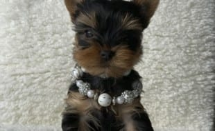 Yorkie Puppies For Sale – AKC Yorkshire Terrier