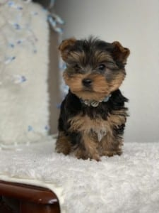 Yorkie Puppies For Sale - AKC Yorkshire Terrier