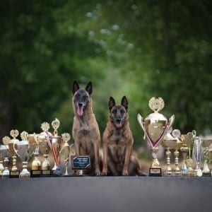 Trained Young Belgian Malinois Female for Sale in Czech