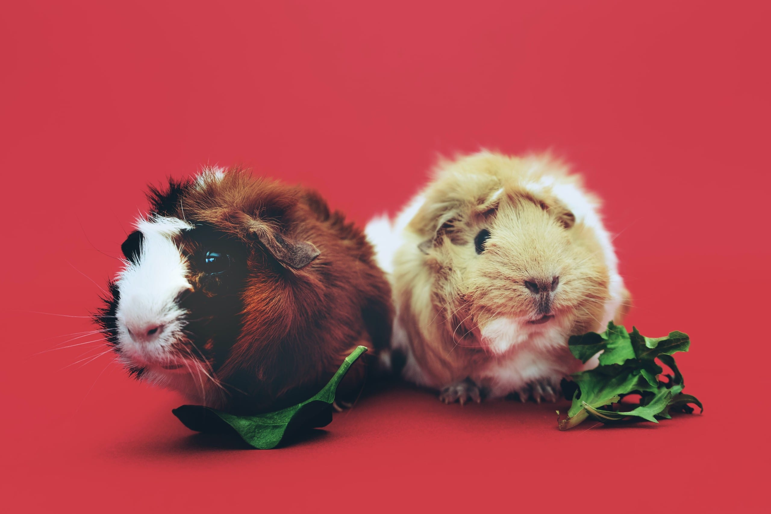 What Guinea Pigs Can Eat