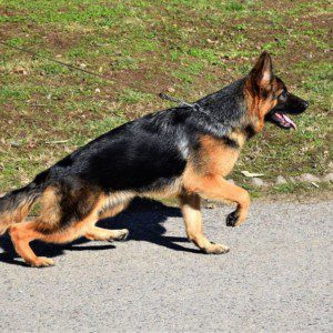 TOP VA1 Gary vom Hühnegrab Puppy for Sale Female