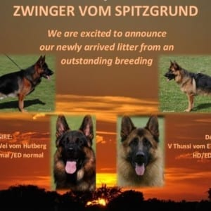 World Class German Shepherd Puppies in Germany Available