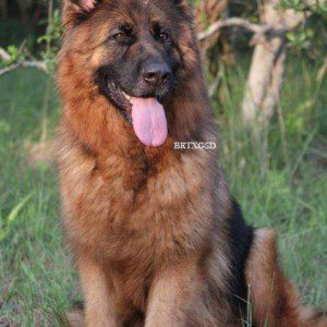 Deep Mahogany-red Longcoat Imported German Shepherd Female for Sale