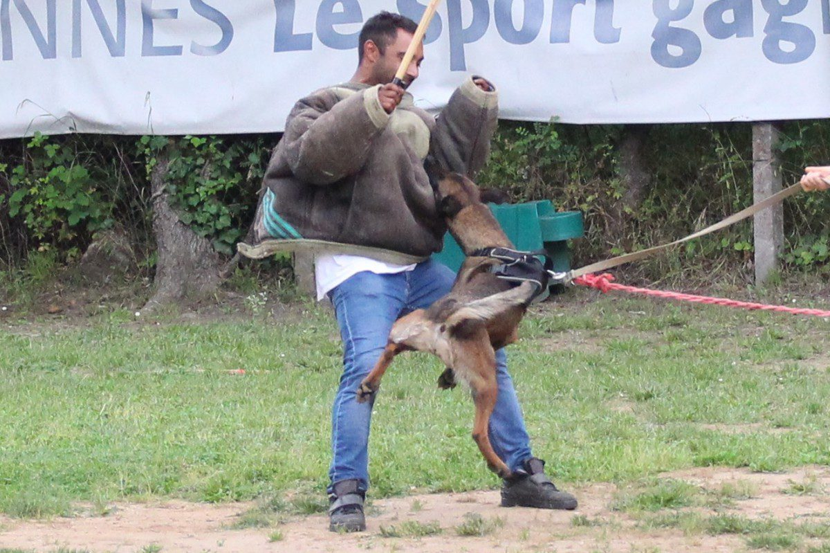 French Ring Belgian Malinois for Sale