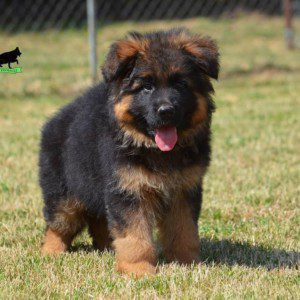 High Quality Long Haired German Shepherd Puppy for Sale in Serbia
