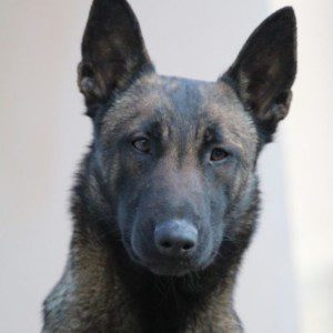 Updated! Excellent Dark KNPV Line Belgian Malinois for Sale