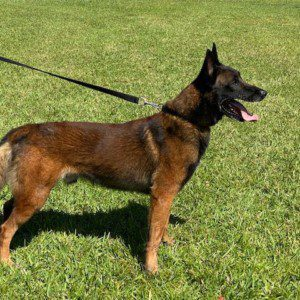 KNPV Lines Belgian Malinois Puppies for Sale