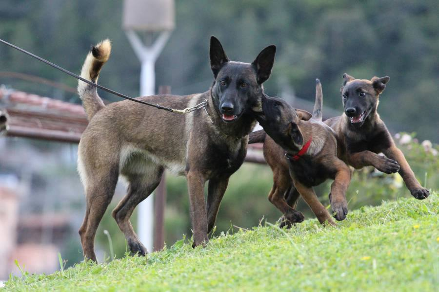 KNPV line Belgian Malinois Puppies for Sale