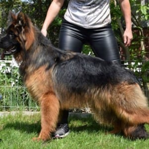Long Haired German Shepherd for Sale in Poland