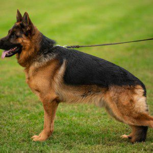TOP Young German Shepherd Male for Sale