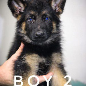 Imported WGSL Male German Shepherd Puppy for Sale